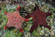 Panamic cushion star (Pentaceraster cumingi)<br /> Rabida Island<br /> Pacific Ocean<br /> Galapagos<br /> Ecuador, South America