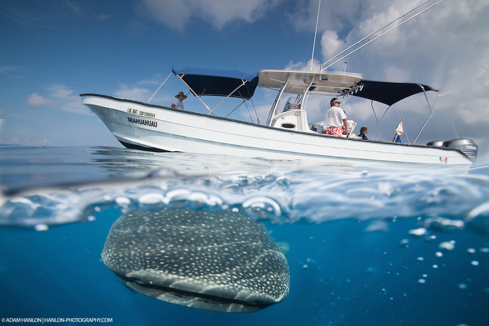 Composite image of a whale shark (Rhincodon typus) apparently diving under the dive boat