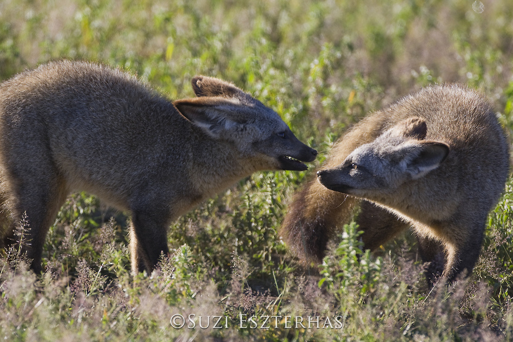 Bat-eared fox<br /> Otocyon megalotis<br /> 7 month old pups playing<br /> Ngorongoro Conservation Area, Tanzania