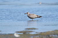 Immature First plumage Herring Gull (Larus argentatus), Crescent Beach, Nova Scotia, Canada
