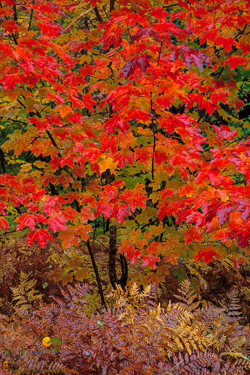 small, wet red maple tree in full fall color with brown ferns.