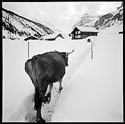 Kuh im Schnee. Der Landwirt und Wildheuer Toni Herger betreibt mit seiner Frau auf dem Urnerboden Berglandwirtschaft unter rauhen Bedingungen. Der Aufenthalt während des Winters war auf dem «Boden» bis 1877 gesetzlich verboten. © Romano P. Riedo