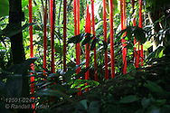 Glass stalks by Chihuly mimic plant forms in Climatron at Missouri Botanical Garden; St. Louis, Missouri.