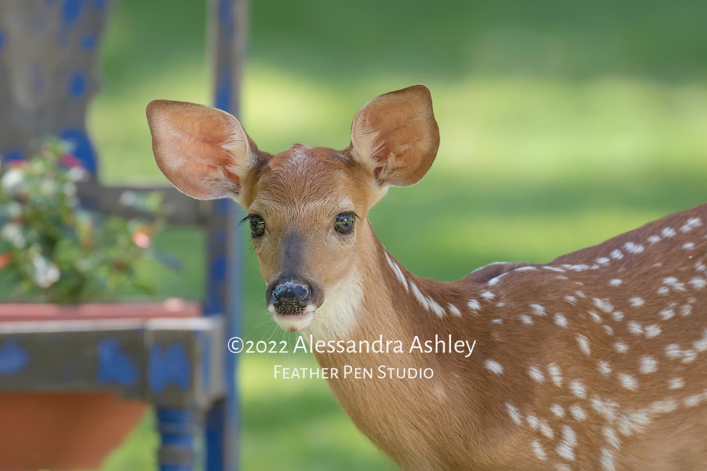 White-tailed deer fawn (Odocoileus virginianus) approaches raised planter in search of a snack.