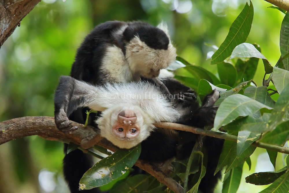 White-faced capuchin monkeys (cebus capucinus) grooming. Tropical dry forest, Palo Verde National Park, Guanacaste, Costa Rica.