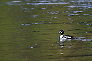 A Barrow's Goldeneye (Bucephala islandica) swimming in Echo Lake at Echo Lake Provincial Park, Lumby, British Columbia, Canada