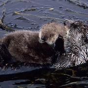 Sea Otter, (Enhydra lutris) Mother grooming baby on belly. Adak Island. Aleutian Islands. Alaska.