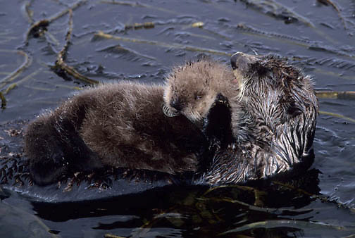 Sea Otter, (Enhydra lutris) Mother grooming baby on belly. Adak Island. Aleutian Islands. Alaska.