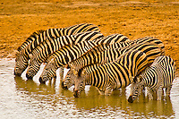 A herd of zebra drinking at a watering hole, Kruger National Park, South Africa