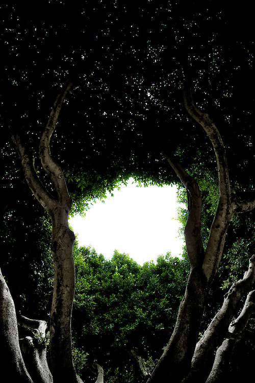 In the centre of Almoradi, Spain lies a square called Plaza de la Constitucion. It's edge is lined with doughnut shaped Ficus Trees. All their centres are removed.... this photo, shot from below, looked like alien tentacles reaching towards a white hole in space...