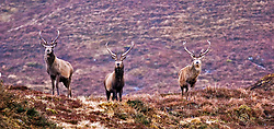 Three red deer stand on a ledge in the Alladale reserve in Scotland.