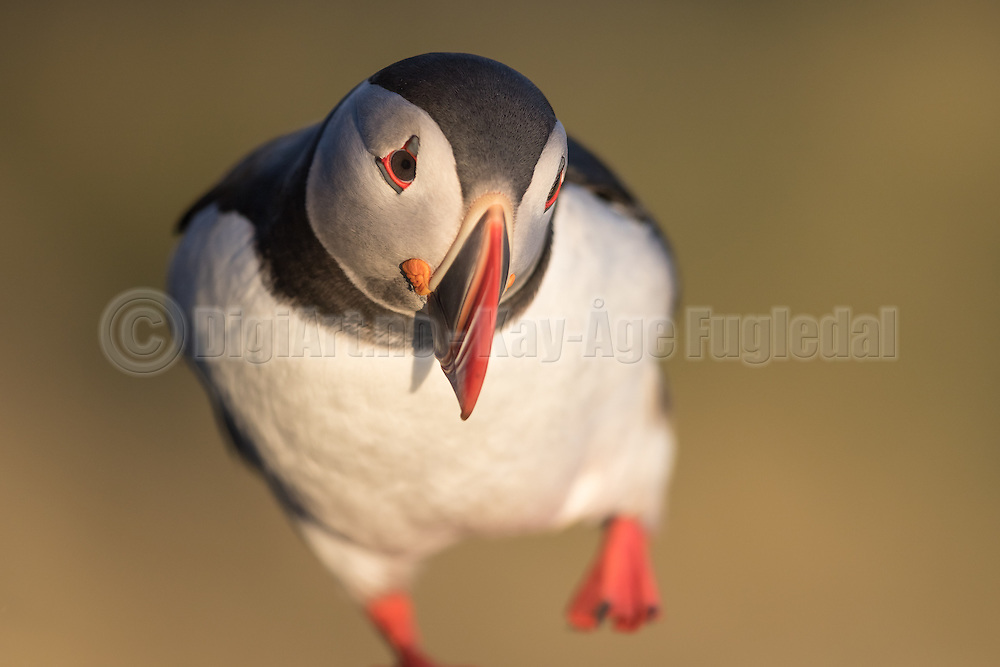 Puffin walking against the photographer | Lundefugl som går mot fotografen.