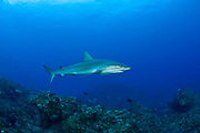 Caribbean Reef Shark in the Northern Bahamas