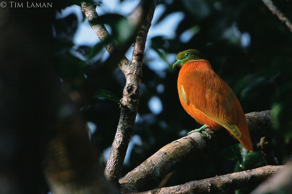 Orange Dove (Ptilinopus victor) in the rain forest of Taveuni Island, Fiji.  Endemic to Fiji.