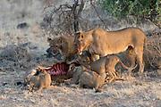 Lion family feeding on a newly killed oryx antelope in Samburu National Reserve, Kenya.