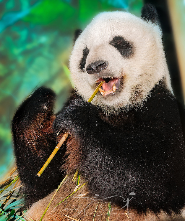 A giant panda bear (Ailuropoda melanoleuca) munches on bamboo, September 8, 2015, at the Memphis Zoo in Memphis, Tennessee. The zoo features more than 3,500 animals representing more than 500 species; it is one of only four zoos in the nation to feature a panda exhibit. The two pandas at the zoo, Le Le and  Ya Ya, have been leased from China since 2003, and their lease has been renewed through 2023. Panda bears can eat up to 80 pounds of bamboo a day. Pandas are an endangered species, with approximately 2,000 remaining in the wild and 375 living in captivity, as of 2013. (Photo by Carmen K. Sisson/Cloudybright)