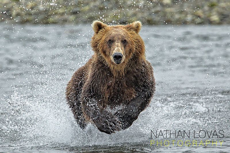 Brown bear (Ursus arctos) chasing salmon in river;  Katmai National Park, Alaska in wild.