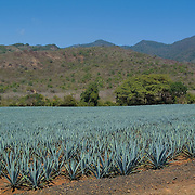 Agave plantation. Tequila, Jalisco. Mexico.