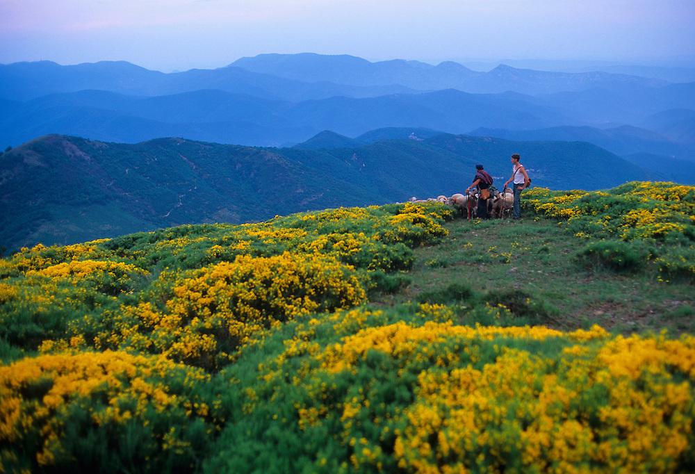 France, Languedoc Roussillon, Gard, Cevennes, Transhumance des moutons au col des Vieilles, massif de l'Aigoual