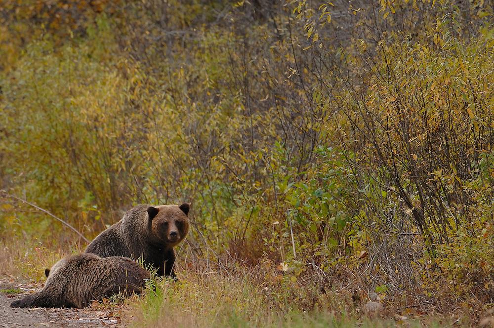 Grizzly bear<br /> ---<br /> Grizzly bj&oslash;rn, brun bj&oslash;rn