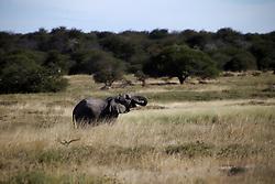 NAMIBIA ETOSHA 30APR14 - An elephant bull feeds on bush plants near Namutoni, Etosha National Park, Namibia.<br /> <br /> The African bush elephant is the largest living terrestrial animal,<br /> <br />  but mineral deficiencies mean that they have very short tusks.<br /> <br /> jre/Photo by Jiri Rezac<br /> <br /> <br /> <br /> © Jiri Rezac 2014