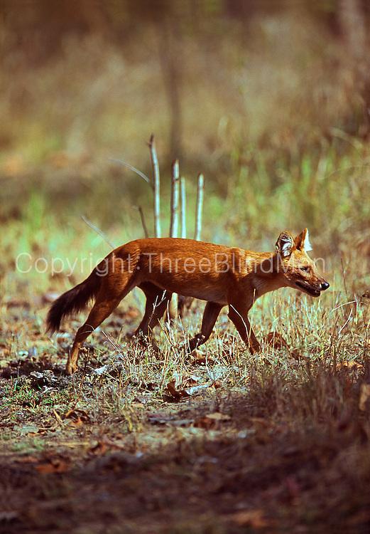 Dole, or Indian Wild Dog. Kanha National Park. Madhya Pradesh.
