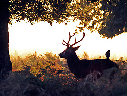 © Licensed to London News Pictures. 15/10/2011. A crow sits on a red deer stag in the autumnal sunrise. Richmond, UK. Early morning in Richmond Park, Surrey today 15 October 2011. Temperatures are set to fall across the UK in the coming week as Autumn takes hold. Photo: Stephen Simpson/LNP