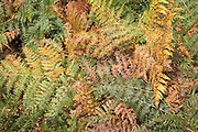 Autumn colours in bracken on heathland Suffolk Sandlings near Shottisham, Suffolk, England