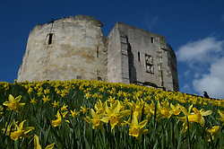 © Licensed to London News Pictures. 25/03/2015. York, UK. Daffodils on display in the spring sunshine outside the historic Clifford's Tower, York. Photo credit : Anna Gowthorpe/LNP