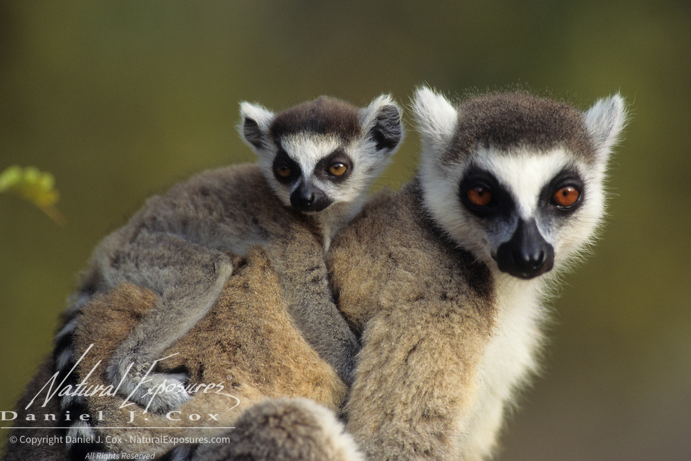 Ring-tailed Lemur adult and young in Madagascar. Endangered Species