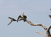 Osprey taking off from perch with fish on Jekyll Island beach