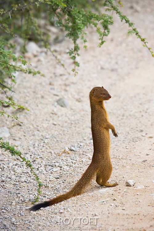 A Slender Mongoose stands on it's hind legs to get a better view of it's surroundings, Namibia