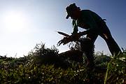 Sao Gotardo_MG, 30 de abril de 2015<br /> <br /> Fotos dos produtores de cenoura na regiao de sao gotardo.<br /> <br /> Foto: MARCUS DESIMONI / NITRO