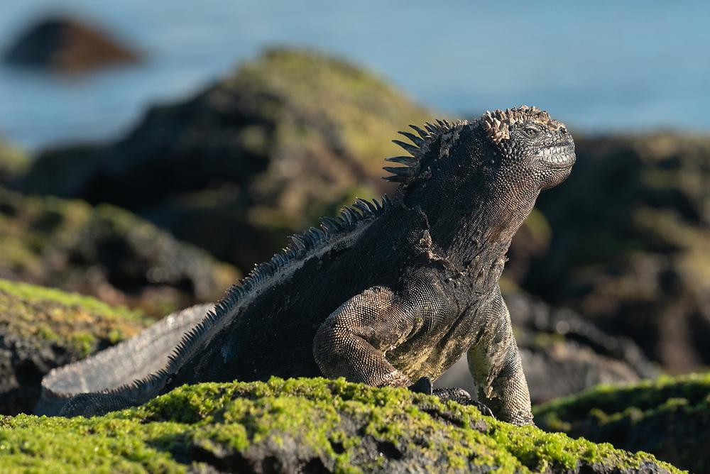 Marine iguana (Amblyrhynchus cristatus) on San Cristobal Island, Galapagos Islands, Ecuador.