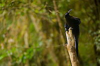 Black Sicklebill BIrd of Paradise (Epimachus fastuosus).  Adult male perched on his display pole...