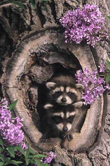 Raccoon, (Procyon lotor) Young in hollow log. Spring. Montana. Captive Animal.