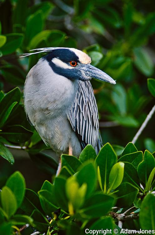Black-crowned Night Heron, Nycticorax nycticorax, J.N. Ding Darling National Wildlife Refuge, Sanibel Island, Florida.