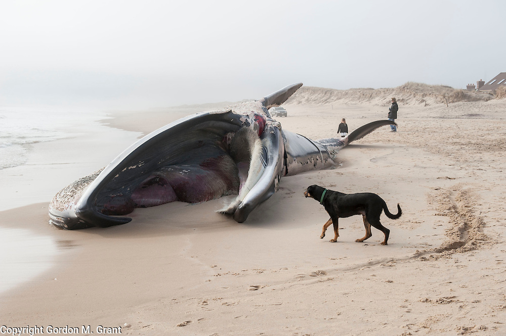A large 50-60 foot whale, believed to be a humpback, washed up along the ocean beach  in Amagansett Sunday morning, just east of the Windward Shores condominium complex on the Napeague Stretch. The Riverhead Foundation for Marine Research and Preservation is responding to assess the whale. (January 13, 2013)