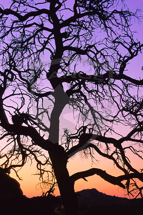 silhouette tree against a sunset sky in joshua tree national park, southern california.
