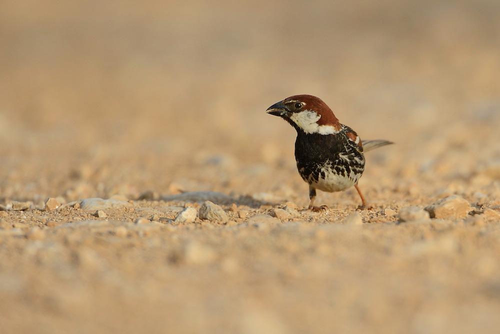 Spanish sparrow, Passer hispaniolensis, Eastern Rhodope mountains, Bulgaria