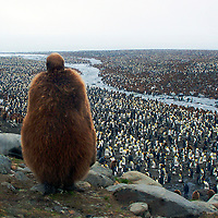 A juvenile King penguin standing atop a hill over looking a sea of juvenile and adult King penguins. The photograph was taken in Antarctica.