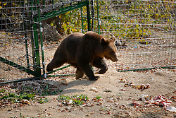 ROMANIA ZARNESTI 25OCT12 - Eurasian brown bear Dandy takes his first steps through the gate into enclosure 3 at the Zarnesti Bear Sanctuary in Romania, funded by WSPA.....With over 160 acres (70 hectares) spread over a wooded hillside, it is Romania's first bear sanctuary and today houses 67 bears rescued from ramshackle zoos and cages at roadside restaurants.....jre/Photo by Jiri Rezac / WSPA....© Jiri Rezac 2012