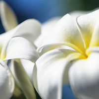 Close-up of white Plumeria blossoms, Frangiapani