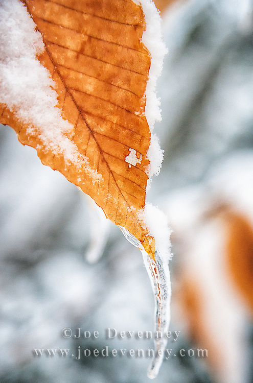 Ice and snow on beech leaf in winter. Maine