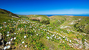 Island Morning Glory at Scorpion Ranch, Santa Cruz Island, Channel Islands National Park, California USA