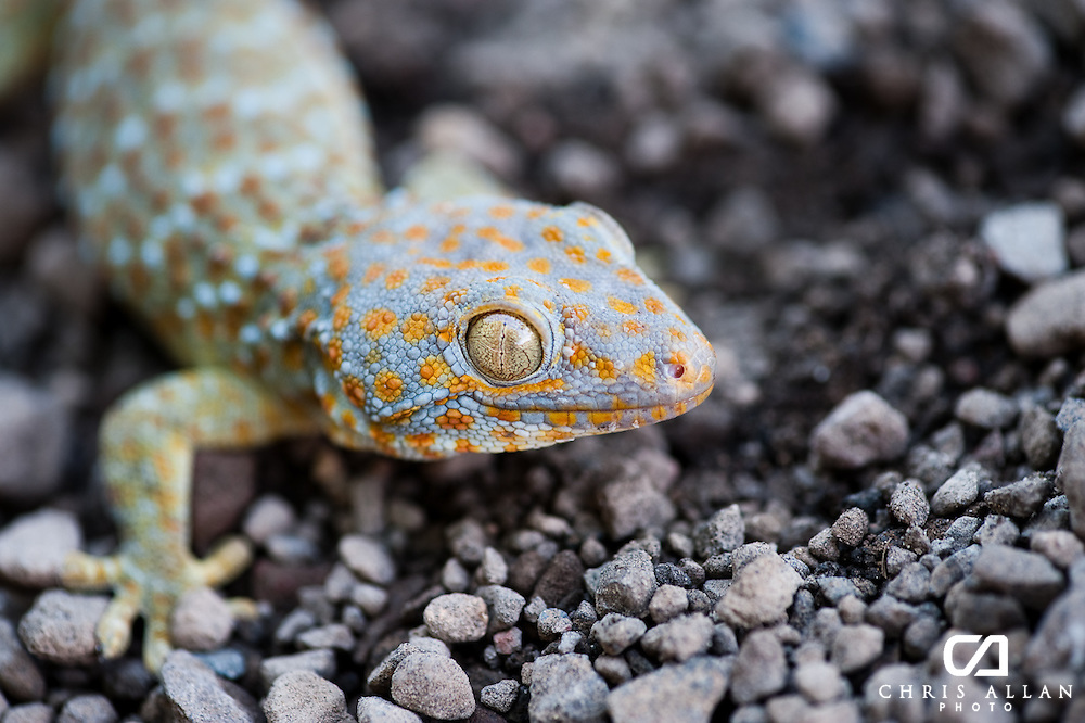 Close up of a Tokay, Bali