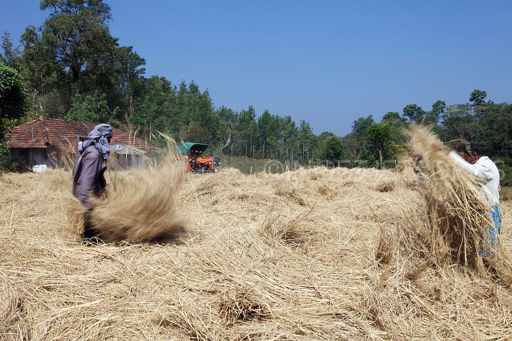 A tractor is used to flatten the rice, it drives at high speed over the piles of rice, while workers keep sorting it out on throwing it back on the pile, looking over their shoulders for the tractor!<br /> <br /> Madikeri, in Coorg, is a hill station in Karnataka state, it is the headquarter of Kodagu district and a popular tourist destination.<br /> It's a must to stay in one of the many coffee-spice (rice)-plantations, the air is cool and the fragrances of coffee and various spices like cardamon,cinnamon and nutmug is a true delight.<br /> Ginger Home Stay is highly recommended http://gingerhomestay.com/ as it is basically staying with family and the plantation is very tranquil and beautiful, i would love to go back there one day. &copy;Ingetje Tadros