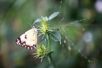 Cabbage white butterfly, Thanda Private Game Reserve, KwaZulu Natal, South Africa