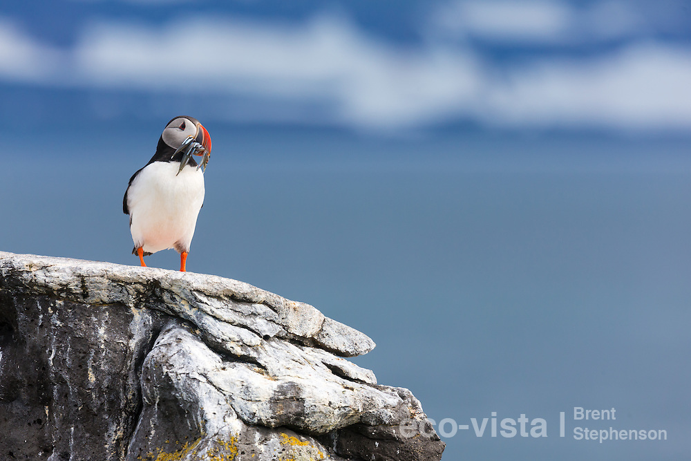 An Atlantic puffin (Fratercula arctica) stands on a rock overlooking the sea, with a beakful of sand eels (Ammodytidae) waiting to head back to its chick in the breeding burrow. Vigur Island, Isafjardardjup, Iceland. July.
