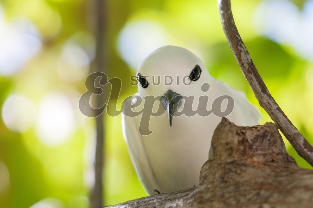 White tern (Gygis alba), or manu-o-ku in Hawaiian. The official bird of Honolulu. Photographed in Honolulu, Hawaii.